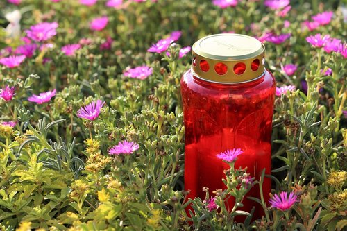red candle  flower  aster novae angliae