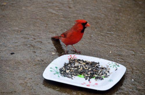 Red Cardinal Feeding On Seed