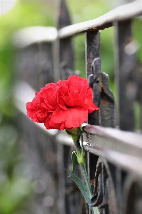 red carnation  iron fence  grave