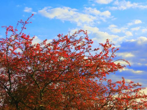 raudonasis vyšninis medis,vyšnia,medis,pavasaris,raudonas medis,gamta