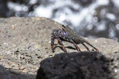 red cliff crab crab meeresbewohner