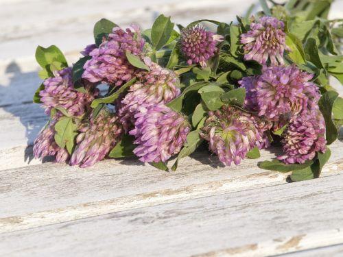 red clover grassland plants menopause