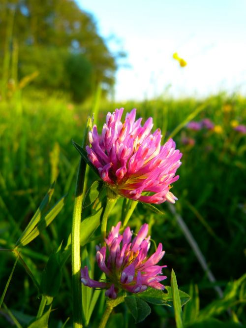 red clover klee clover flower