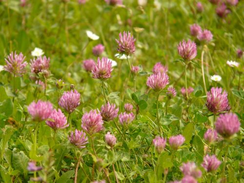 red clover klee pointed flower