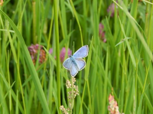 red clover-blue common blue meadow