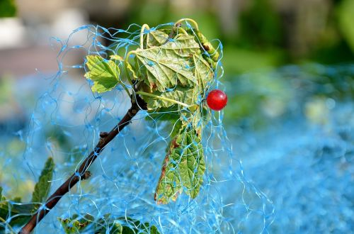 red currant currant bird protection net
