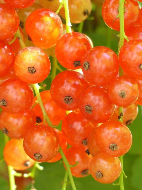 red currant semi mature mature