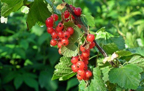 red currant  fruit  garden