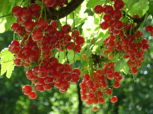 red currant currant ribes rubrum