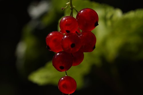 red currant  ribes rubrum  soft fruit