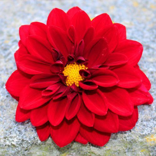 red dahlia blossom bloom