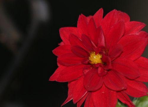 gamta, augalai, gėlės, flora, raudona & nbsp, gėlė, dahlia, raudona & nbsp, dahlia, pavasaris & nbsp, gėlės, raudona & nbsp, žiedlapiai, šviesus raudonas, žydėti, žiedas, Iš arti, makro, fonas, sienos, kambarys & nbsp, už & nbsp, tekstą, raudona dahlia siena