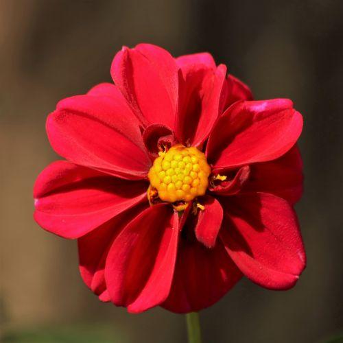 gamta, augalai, gėlės, raudona & nbsp, gėlė, dahlia, raudona & nbsp, dahlia, Iš arti, makro, gėlių & nbsp, žiedlapių, raudona & nbsp, žiedlapiai, žydėti, žalias & nbsp, fonas, raudona dahlia arti