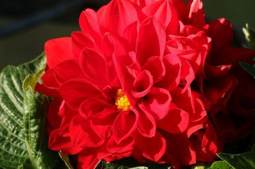 gamta, augalai, gėlės, raudona & nbsp, gėlė, dahlia, raudona & nbsp, dahlia, pilnas & nbsp, žydėjimas, žiedlapiai, raudona & nbsp, žiedlapiai, Iš arti, makro, žalios spalvos & nbsp, lapai, tamsus & nbsp, fonas, raudona dahlia close-up 2
