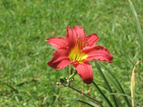 Red Daylily