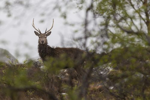 red deer scotland highlands