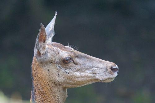 red deer doe hirsch