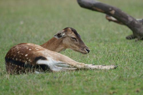 red deer wildlife park paarhufer