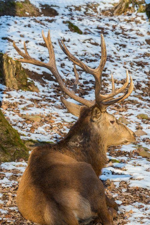 red deer wild hirsch