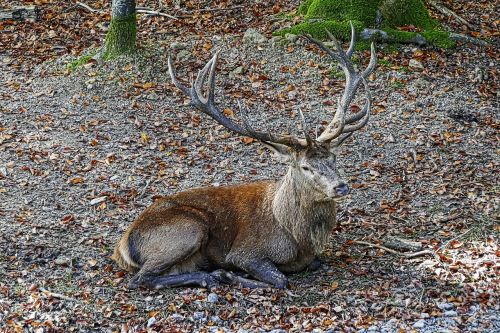 red deer antler hirsch