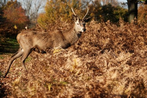 red deer cervus elaphus richmond park