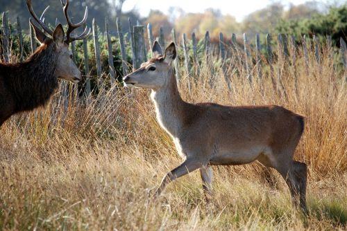 red deer deer mammal