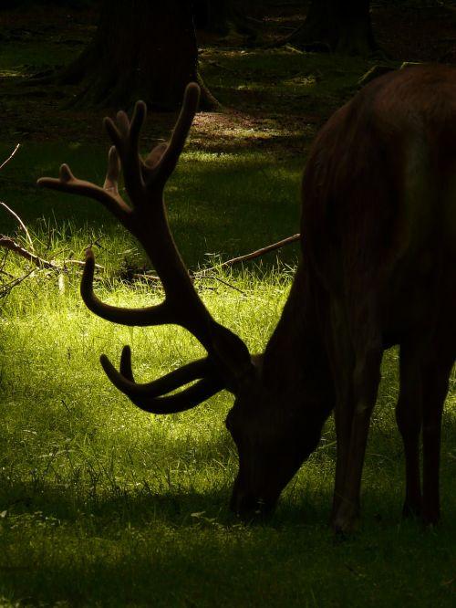 red deer hirsch animal