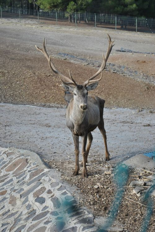 red deer antlered deer turkey deer