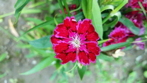 red dianthus dianthus sweet william