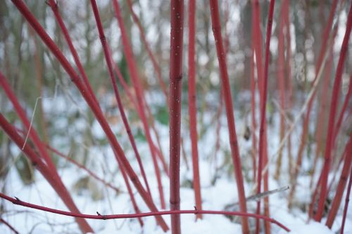 red dogwood bush cornus sanguinea