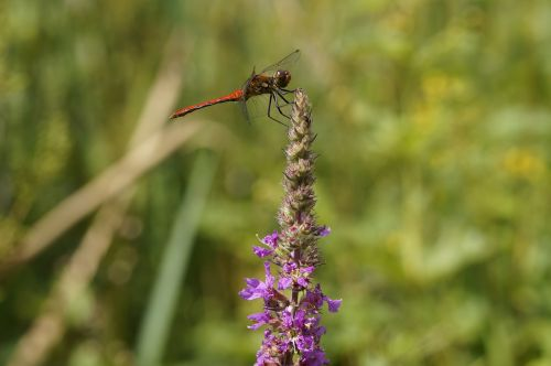 red dragonfly dragonfly red
