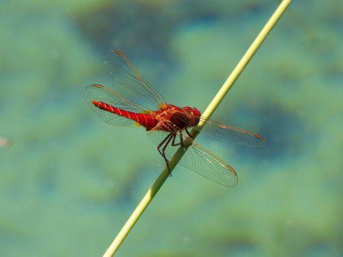red dragonfly branch wetland
