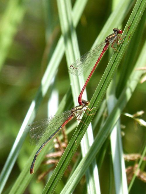 red dragonfly damselfly leaf