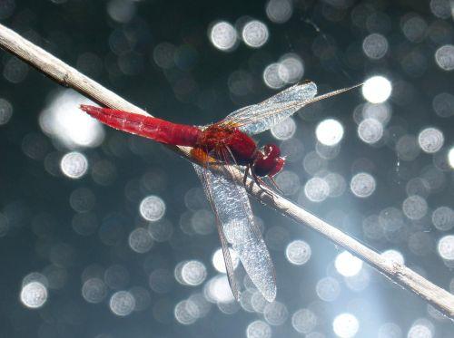 red dragonfly stem erythraea crocothemis