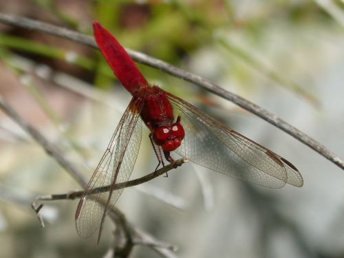 red dragonfly branch wetland