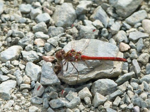 red dragonfly stones winged insect