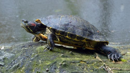 red-eared slider fishing pond walldorf