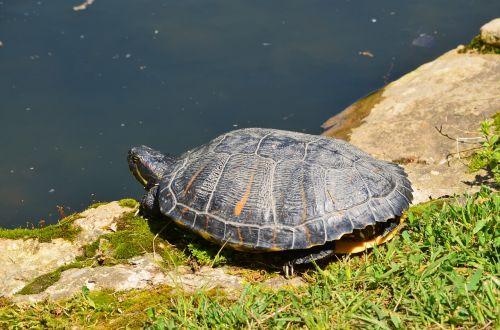 red eared turtle reptile aquatic