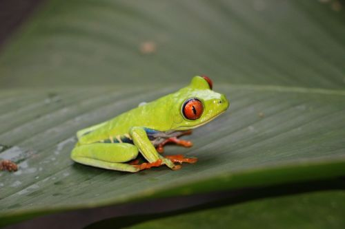 red-eye frog red-eyed tree frog frog
