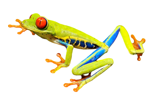 red-eye frog red-eyed tree frog tree frog