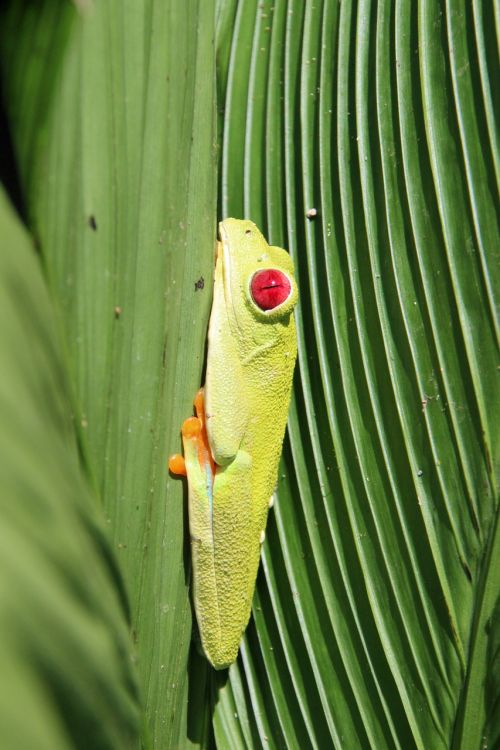 red-eyed tree frog frog costa rica