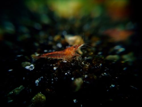red fire shrimp creature