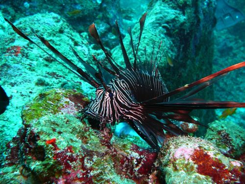 red fire fish lionfish black fire fish