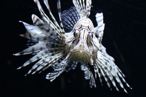 red fire fish lionfish fish