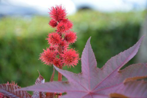 raudona gėlė,augalai,masyvas,sodas,vasaros gėlės,jardiniere
