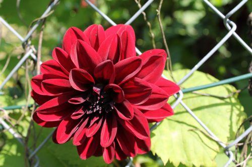 red flower dark red flower blossom