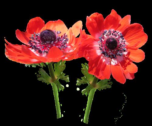 red flower anemone stems