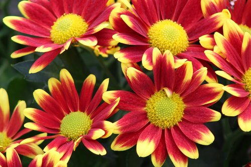 red flower  yellow  chrysanthemums