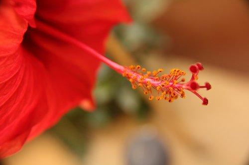red flower  stigma  pollen tube