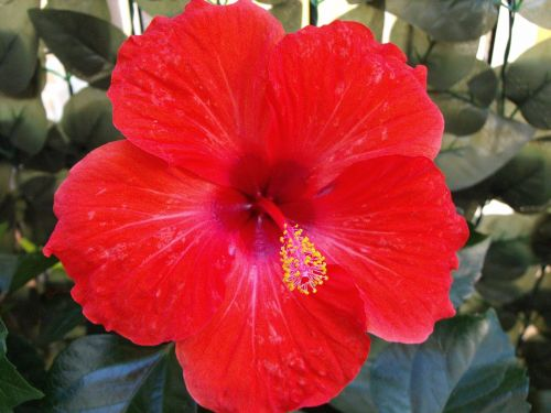 red flower hibiscus colorful